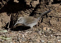 Berwick's Wren Photo Picture