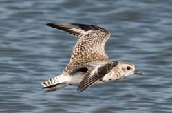 Black_Bellied_Plover_09_FL_010
