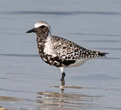 Black_Bellied_Plover_024