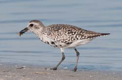 Black_Bellied_Plover_09_FL_027