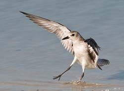 Black_Bellied_Plover_043