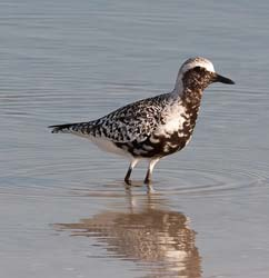 Black_Bellied_Plover_09_FL_047