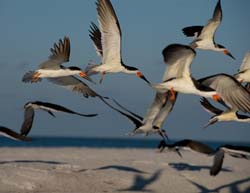 Black Skimmer Photo Picture