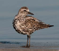 Black_bellied_Plover_10_FL_005