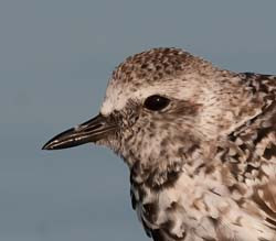 Black_bellied_Plover_10_FL_006