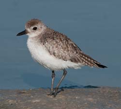 Black_bellied_Plover_11_FL_002