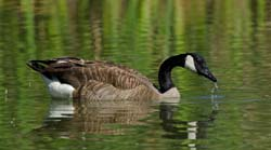 Canadian Goose Photo