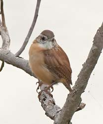 Carolina Wren Photo Picture