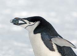 Chinstrap Penguin Photo