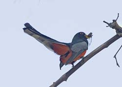 Elegant Trogon Photo