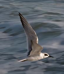 Forsters_Tern_09_FL_002