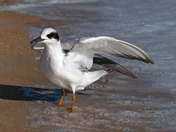 Forsters_Tern_09_FL_029
