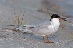 Forsters_Tern_10_FL_003