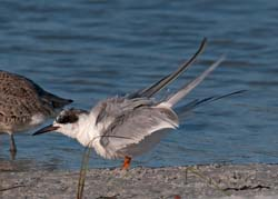 Forsters_Tern_10_FL_007