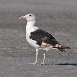 Great_Black_backed-Gull_09_FL_001