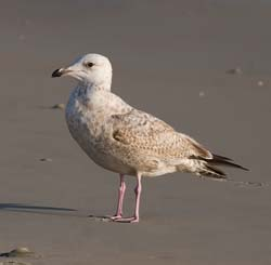 Herring_Gull_11_FL_001