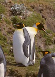 King Penguin Photo