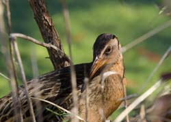 King Rail Photo
