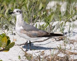 Laughing_Gull_09_FL_002