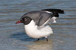 Laughing_Gull_09_FL_007