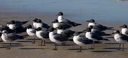 Laughing_Gull_09_FL_019