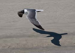 Laughing_Gull_09_FL_022