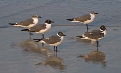 Laughing_Gull_09_FL_033