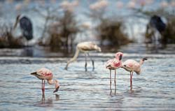 Lesser Flamingo Photo
