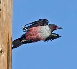 Lewis's Woodpecker Photo