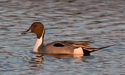 Northern_Pintail_001