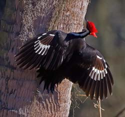 Pileated_Woodpecker_10_FL_004