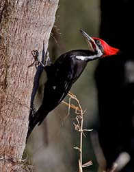 Pileated_Woodpecker_10_FL_027