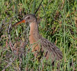 Ridgeway's Rail Photo