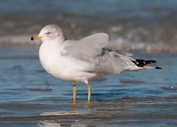 Ring_Billed_Gull_09_FL_004