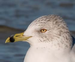 Ring_Billed_Gull_006