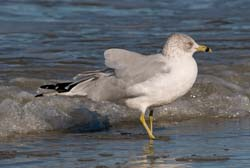 Ring_Billed_Gull_007
