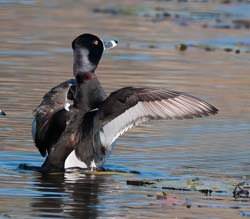 Ring_necked_Duck_10_FL_002