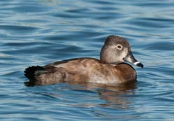 Ring_necked_Duck_10_FL_032