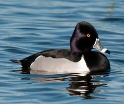 Ring_necked_Duck_10_FL_035