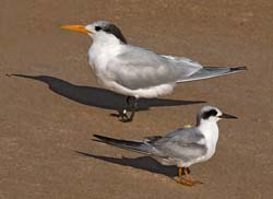 Royal and Forsters Tern Photo