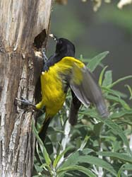 Scott's Oriole Photo