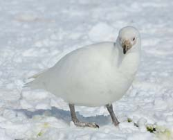 Snowy Shearbill Photo