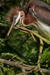 Tricolored Heron Photo