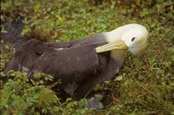 Waved Albatross Photo