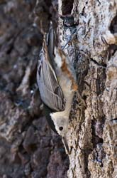 White-breasted Nuthatc