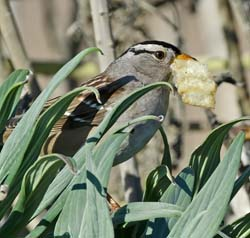 White-crowned Sparrow Photo