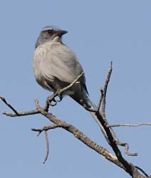 Woodhouse's Scrub-Jay Photo