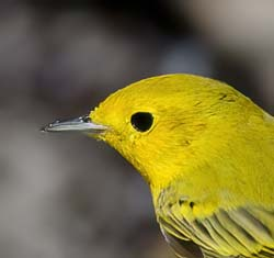 Yellow Warbler Photo Picture