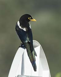 Yellow-billed Magpie Photo Picture