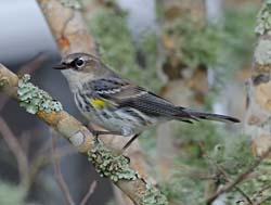 Yellow-rumped Warbler Photo Picture
